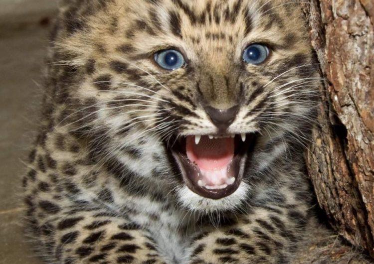 Два котенка леопарда родились в столичном зоопарке