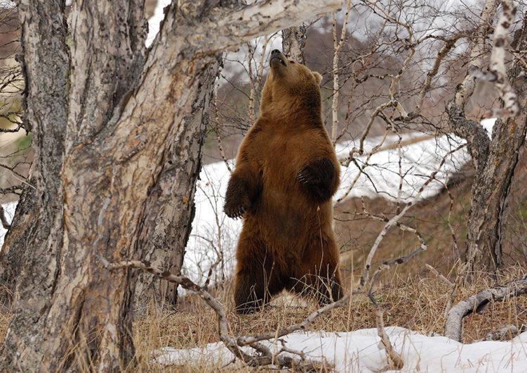 Следы пребывания бурого медведя нашли под Можайском