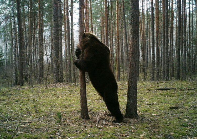 В Подмосковье предупредили о невыспавшихся и агрессивных медведях