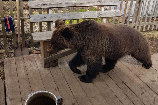 На фоне самоизоляции населения медведи и волки приблизились к жилью под Москвой