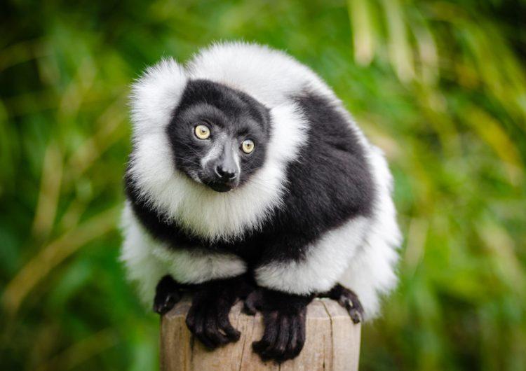 В Московском зоопарке родился у редкого кошачьего лемура родился детёныш