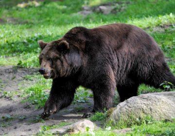 В Мытищах из частного гольф-клуба сбежал медведь